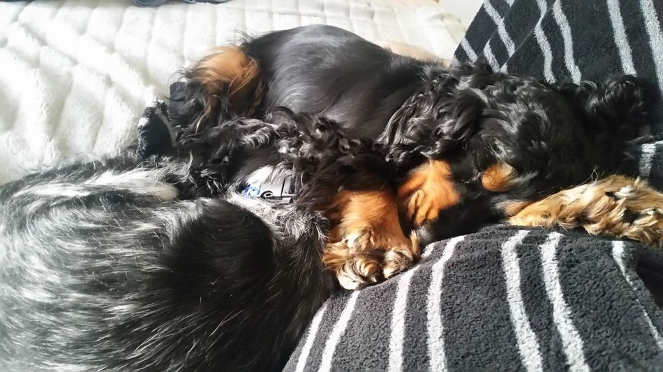 Sleepy Spaniel Siblings Having Fun Bed SiblingsLove❤ First Eyeem Photo Spanielsofinstagram Dogprints Spaniels Cockerspaniel Close-up Cuddles Domestic Animals Animal Themes Dogphotographer Dog Portrait One Animal Pets Siblingcuddles Siblinglove Love