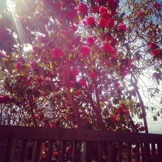 Tree! :) Nature Pink Flower No Fliter  IrenesPics
