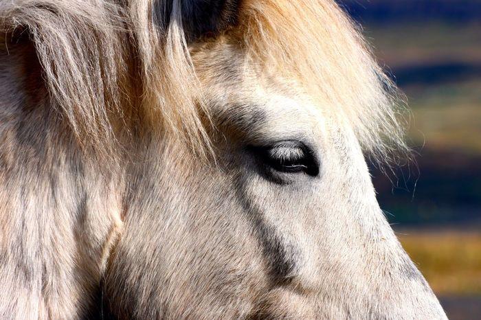 Icelandic Horse Iceland Animals Horse Pony Islandpferd  Island Horses Animal Photography Animal_collection Animal Macro Beauty