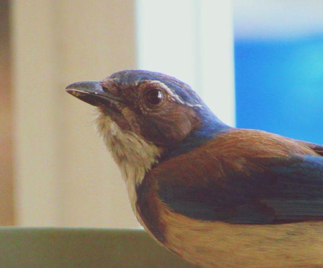 scrubjay Scrubjay Single Bird No People Birds🐦⛅ Outdoor Photography