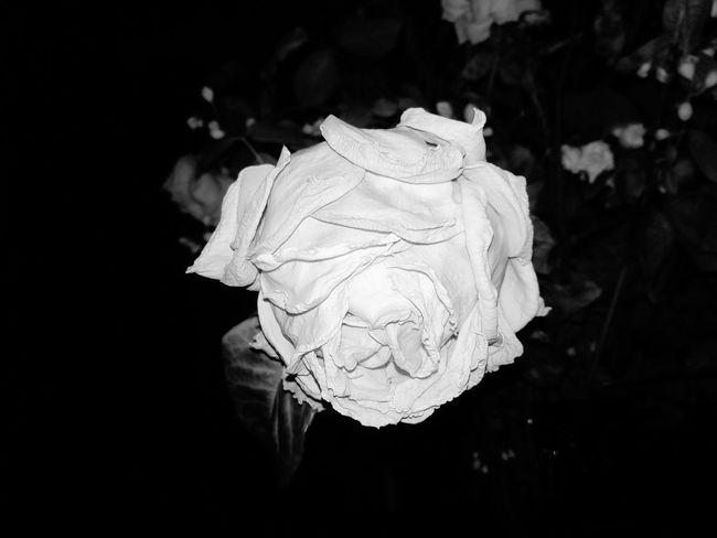 Dying process of a rose Flower Head Flower Black Background Biology Close-up Wilted Plant Dried Plant Dead Plant Single Rose Wilted Blooming Plant Life Petal Rose - Flower In Bloom