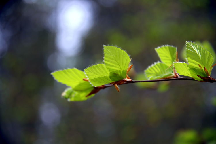 Close up of new beech leaves, backlit and with bokeh effect