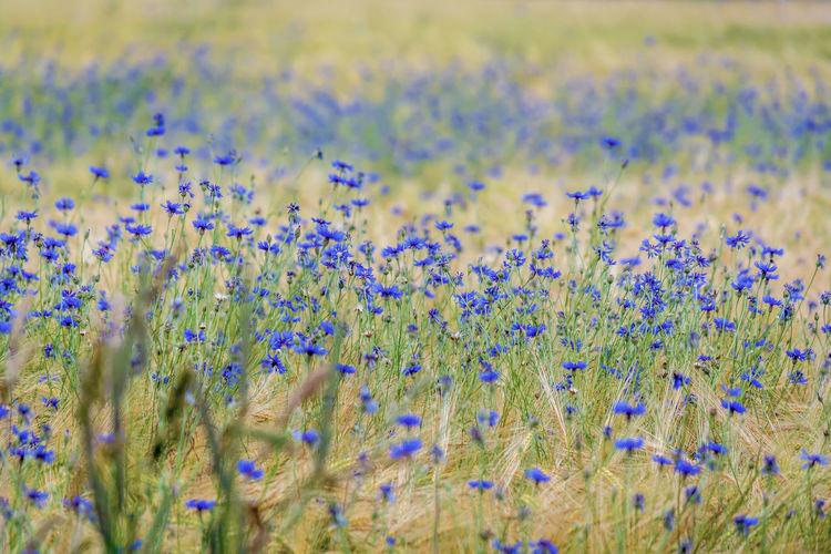Scenic view of purple flower field