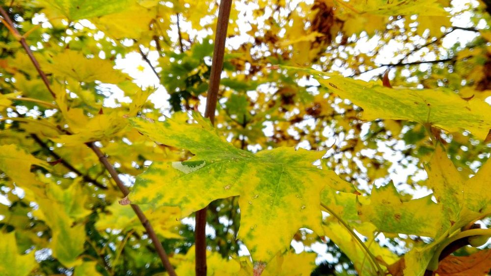 Tree Low Angle View Leaf No People Beauty In Nature Yellow Outdoors Autumn Get Closer Season  Autumn Colors Autumn Is Here 🍂🍁 Autumn Is The Spring Of Winter 🍂🍁 Autumn🍁🍁🍁 Autumn Leaves How Is The Weather Today? Autumn 2016 Bokeh October 2016 Beauty In Nature Autumn The Places I've Been Today Treelife A Walk In The Park TreePorn