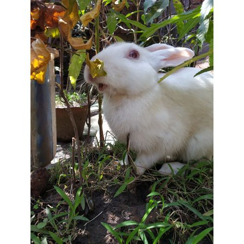 Close-up of white rabbit on field