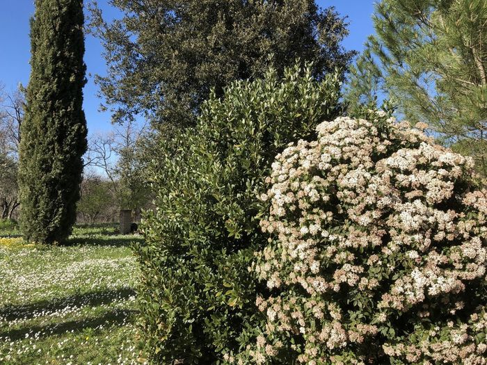 Springtime Viburno Alloro Beauty In Nature Flowering Plant Green Color Growth Outdoors Park