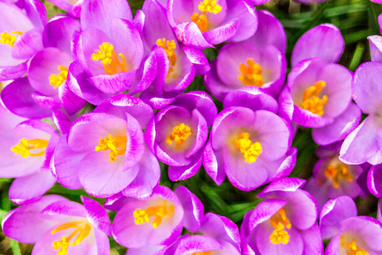 Close-up of fresh purple flowers