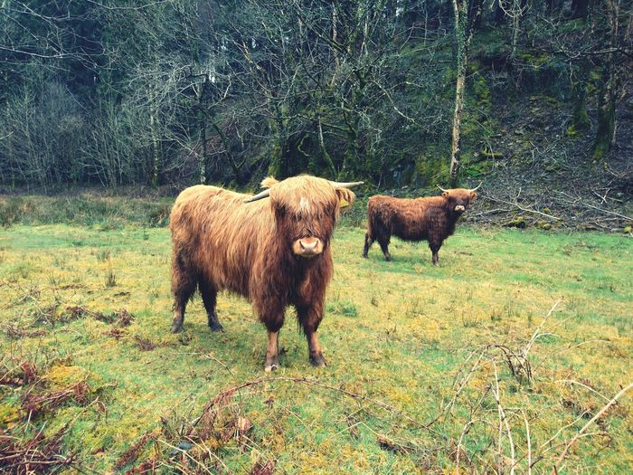 Welsh cows 🏴 🐮 Highland Cow Green Brown Nikon Photography Nikkor 55_300mm Newtonpetography Grassland Lakeside Greenery Woods Farm Animal Highland Cattle Countryside Cattle Livestock Tag