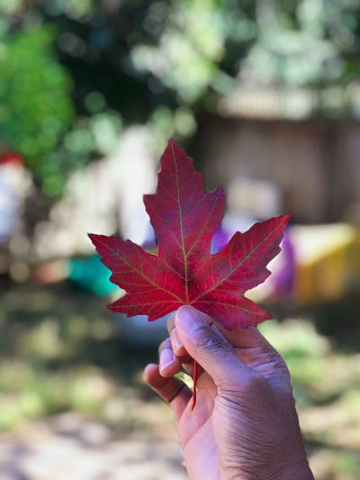 Human Hand Leaf Autumn Human Body Part One Person Focus On Foreground Change Unrecognizable Person Holding Human Finger Real People Maple Leaf Day Outdoors Close-up Maple Nature Beauty In Nature Tree People L. Jeffrey Moore IPhone7Plus IPhone Photography The Week On EyeEm Beauty In Nature