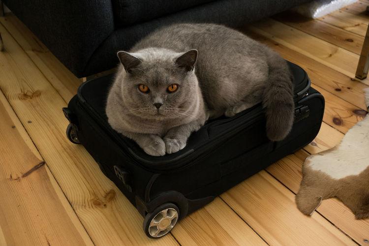 Grey cat on suitcase