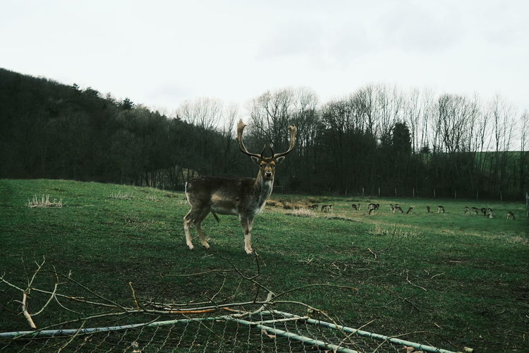View of deer on field against sky