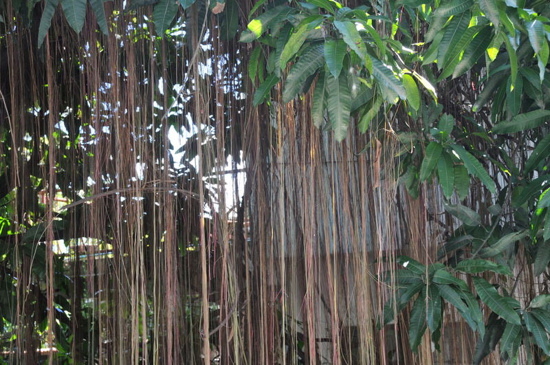 Bamboo - Plant Bamboo Grove Close-up Day Forest Green Color Growth Leaf Nature No People Outdoors Plant Tree
