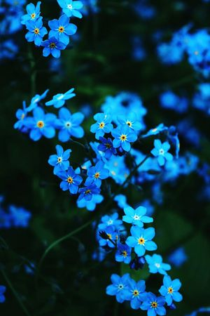 Flower Blue Plant Nature No People Outdoors Multi Colored Beauty In Nature Summer Close-up Leaf Branch Day Tree Plant Part Botanical Garden Sky Forget Me Not Forget-me-not Forgetmenot Flowers Blossom незабудка цветы цветок