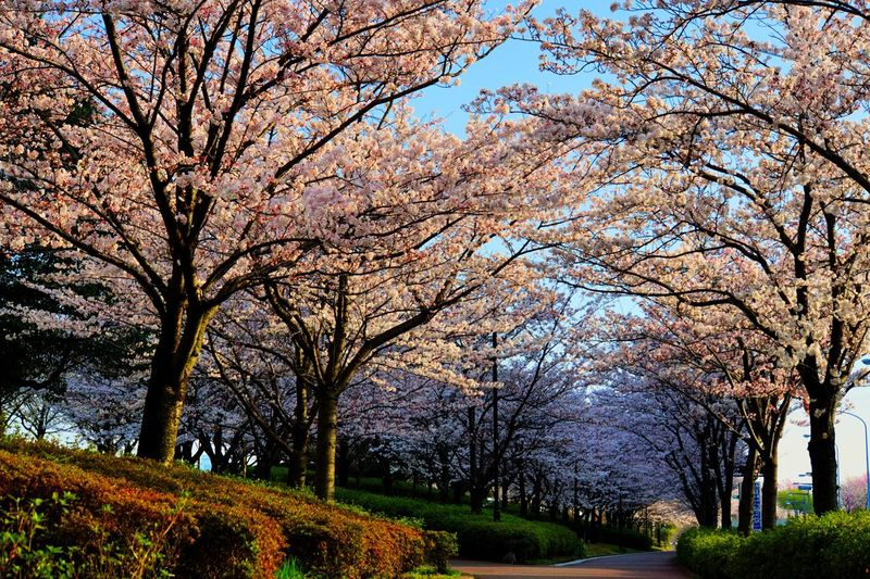 Cherry Tree Cherry Blossom ソメイヨシノ 桜 EyeEmNewHere Tree Growth Beauty In Nature Nature Day Tranquility Stories From The City No People Flower