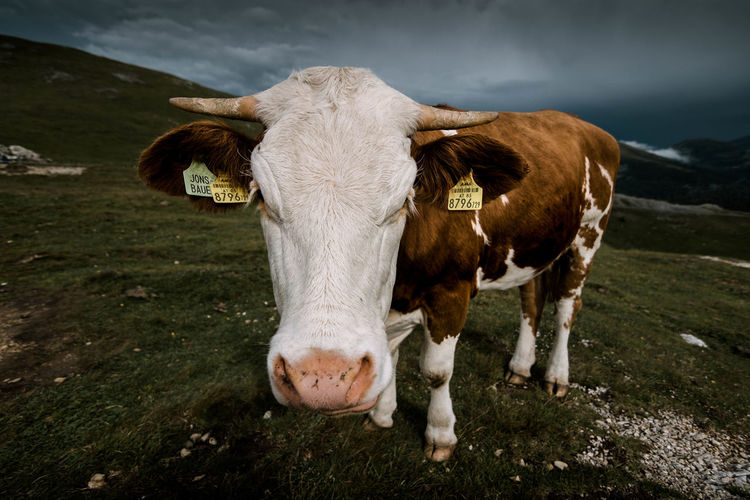 cow close up portrait with wide angle lens in the alps Domestic Livestock Animal Themes Domestic Animals Animal Pets Mammal Cattle Vertebrate Cow Grass Land Field Domestic Cattle One Animal No People Nature Standing Plant Day Herbivorous Outdoors Animal Head  Wide Angle Mountains