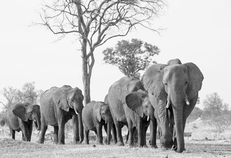 Group Of Animals Animal Animal Themes Tree Mammal Elephant Animals In The Wild Animal Wildlife No People Animal Family Large Group Of Animals Herd African Elephant Outdoors Day Black And White Hwange National Park Safari Walking Towards Camera