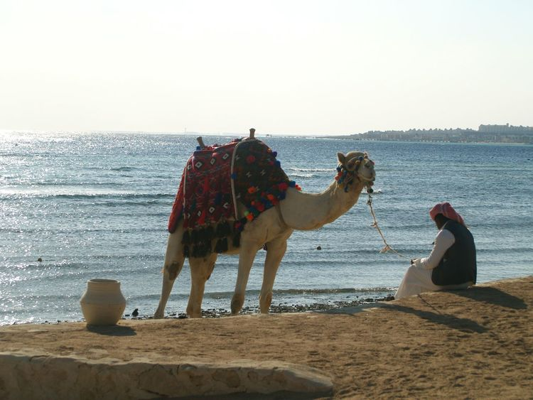 Camel on the beach 🐫🐫🐫 Camel On The Beach Egypt Hanging Out Traveling Summer Memories 🌄 Hello World Makadi_bay Sunwing Waterworld Makadi RedSea Taking Photos Check This Out Eye4photography  EyeEm Best Shots People Photography Eyeem People Tranquility Wathing Sea