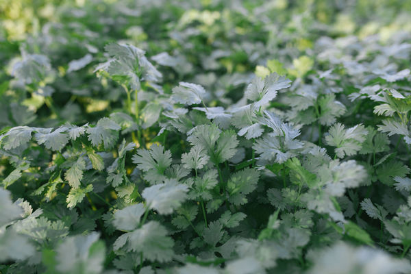Agriculture Bio Coriander Plants  Coriandrum Sativum Freshness Growth Herb Herbs Alentejo Apiaceae Chinese Parsley Cilantro Coriander Day Fragility Fresh Growth Healthy Healthy Eating Healthy Food Healthy Lifestyle Nature Outdoors Plant Spring