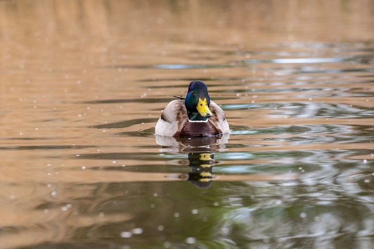 Nikon Nikonphotography EyeEmBestEdits EyeEm Masterclass Animal Animal Themes Animal Wildlife Bird Animals In The Wild Vertebrate Water One Animal Swimming Lake Duck Nature No People Poultry Reflection Day Side View Mallard Duck Outdoors Floating On Water
