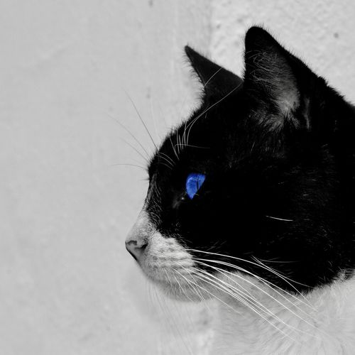 Blue eyes Blue Blue Eyes One Animal Animal Animal Themes Pets Domestic Vertebrate Mammal Domestic Animals Cat Feline Domestic Cat Close-up No People Animal Body Part Indoors  Animal Head  Whisker Looking Day Animal Eye