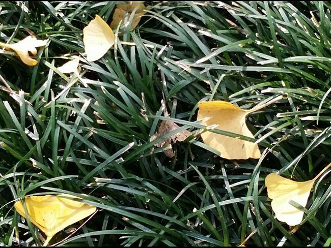 Fallen Leaves Ginkgo Leaves Autumn Leaves Autumn Colours Shinjuku Gyoen National Garden Tokyoautumn2016 TokyoNov2016 Tokyoautumn Japanautumn Japan