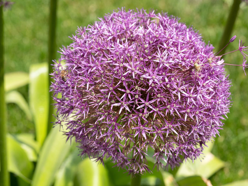 Allium cristophii commonly known as Star of Persia purple flower is a herbaceous perennial plant** Note: Shallow depth of field Allium Cristophii Star Of Persia Beauty In Nature Botany Close-up Day Flower Flower Head Flowering Plant Focus On Foreground Fragility Freshness Growth Inflorescence Lilac Nature No People Outdoors Petal Plant Purple Springtime Vulnerability