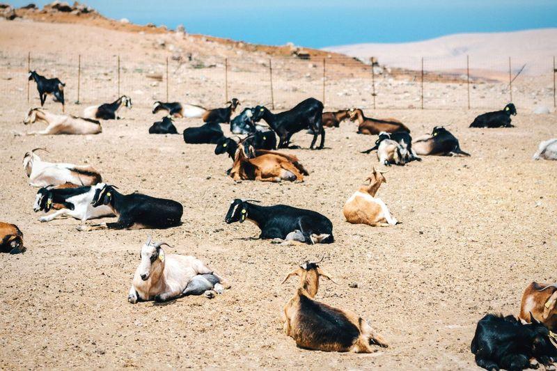 Goats Sitting On Field