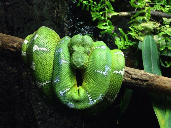 EyeEm Nature Lover EyeEm Best Shots - Nature IPhoneography EyeEm Best Shots Snake Reptile Green Emerald Tree Boa Beautifully Organized