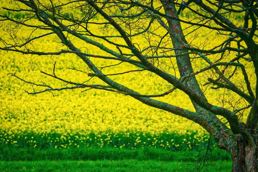 Branches Nature Tree Yellow Beauty In Nature Growth Tranquility Outdoors Field No People Landscape Scenics Branch Grass Day Flower Sky Rapeseed AMP PICTURES