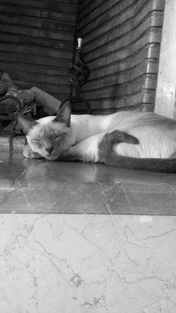 Cat Cats Kitty Kitten Siamese Siamesecats Siamesecat Pet Pets Tango