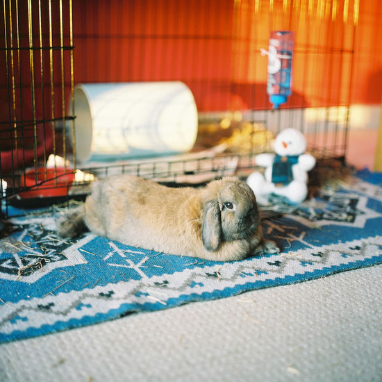 Close-up of a bunny rabbit resting on floor