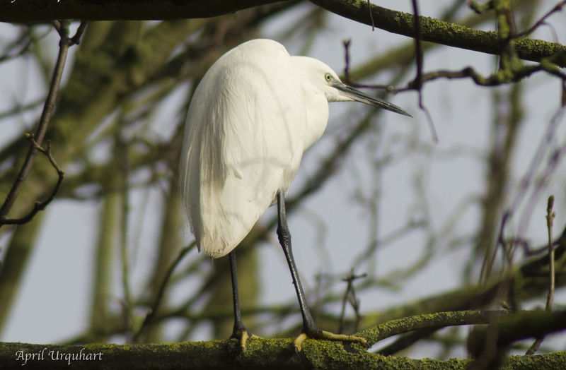 Little egret on a branch Animal Themes Animals In The Wild Bird Birds Of EyeEm  Birds_collection Birdwatching Branch Close-up Eyem Best Shots Eyem Nature Lovers  Fish Eater Little Egret Little Egret On A Branch Nature Nature Photography One Animal Outdoors Perching Small Heron White Bird White Color Wildlife Photography