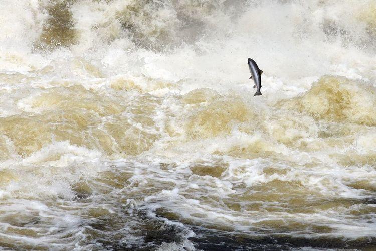 Salmon jumping over sea