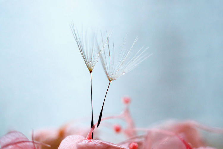 Close-up of dandelion seeds on pink flowers