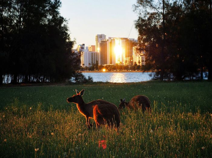 Kangaroos on grassy field by city against clear sky at sunset