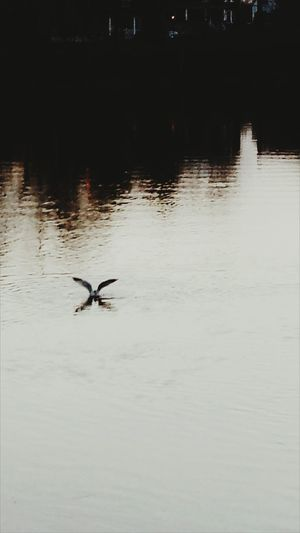 Check This Out Taking Photos Relaxing Water Reflections Springtime SeagullSEAGULL IN FLIGHT Seagulls In The City Seagulls Flying Over Me Seagullview Seagull On Water Sunset_collection