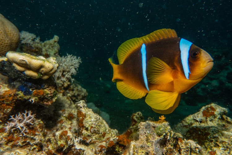 Clownfish in the red sea colorful and beautiful , eilat israel a.e