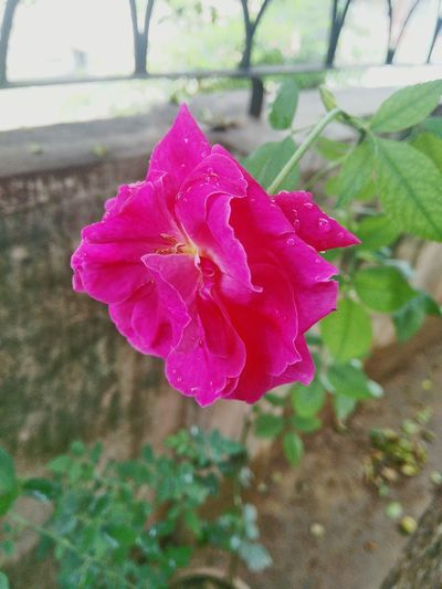 Flower Nature Flower Head Day Outdoors Close-up Focus Bookeh Water Drop Freshness Fragility Plant Rose - Flower Pink Color Petal No People Beauty In Nature