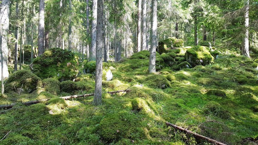 Day Green Color Growth Nature Outdoors Tree No People Grass Field Beauty In Nature Wood Summer Nature Sweden