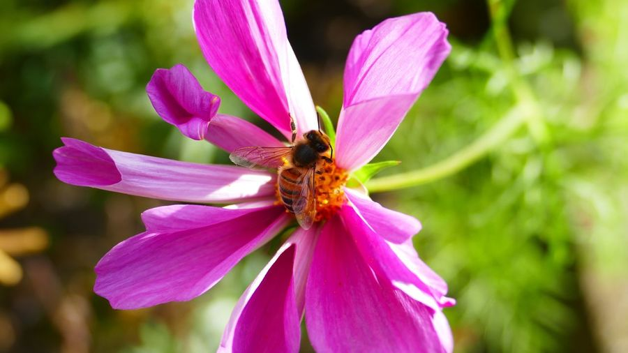 Honey Bee - Pink Cosmos - Natural Beauty - Nature - Out & About With Nature - Eye4photography  - Popular Photos