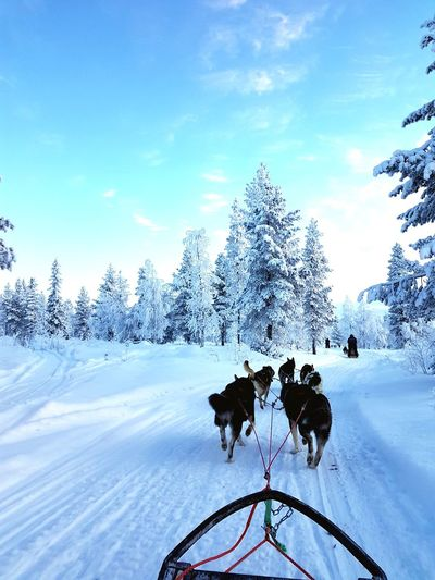 Rear View Of Sled Dogs Pulling Sleigh On Snow