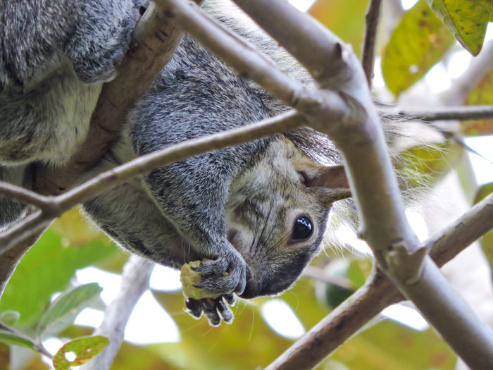 Close-up of squirrel eating branch