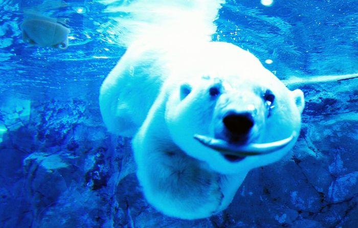 可愛さ&圧倒的迫力。 旭山動物園 シロクマ 北海道 旭川