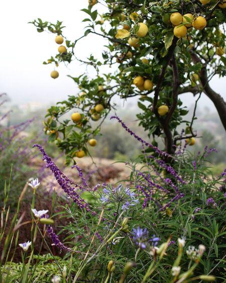 My happy place. Lemon Citrus  Citrus Fruit Garden Photography Garden Green Color Purple Flower