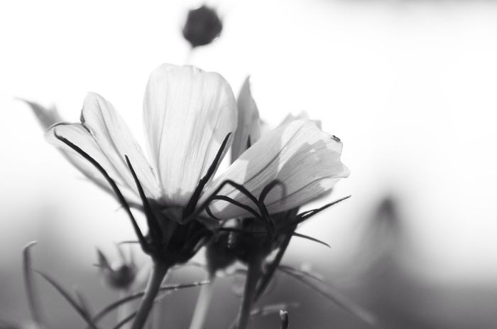 Tadaabestshot Tadaa Community Flower Porn Bw_collection cosmos