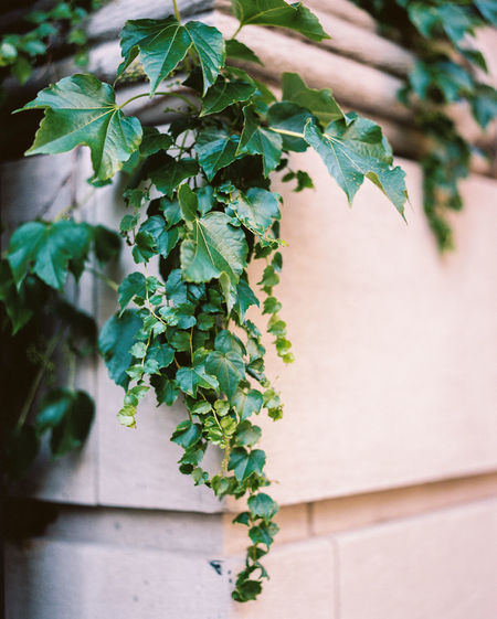 Close-up of ivy growing against wall