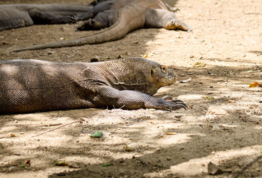 ASIA Animals In The Wild Dangerous Animals Ende INDONESIA Komodo Dragon Vacations Views Animal Themes Flores Komodo Komodo Island Komodo National Park Labuanbajo Landscape Muti Colored Nature No People Outdoors Reptile Rincaisland Scenics - Nature Travel Destinations Vertebrate Wildlife