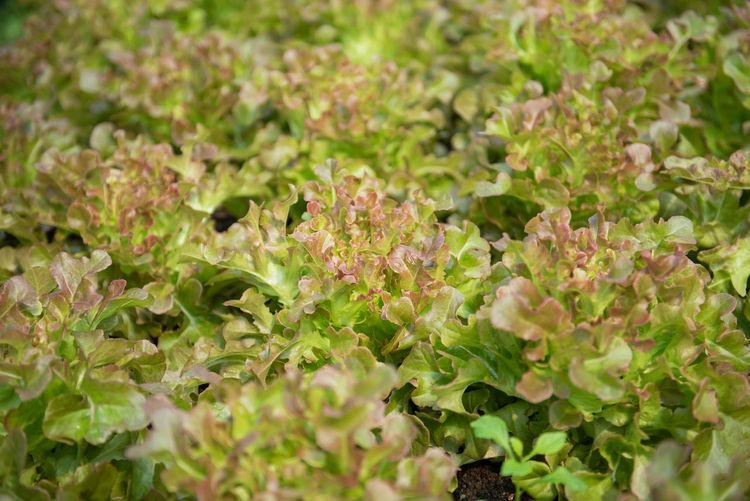 green oak and