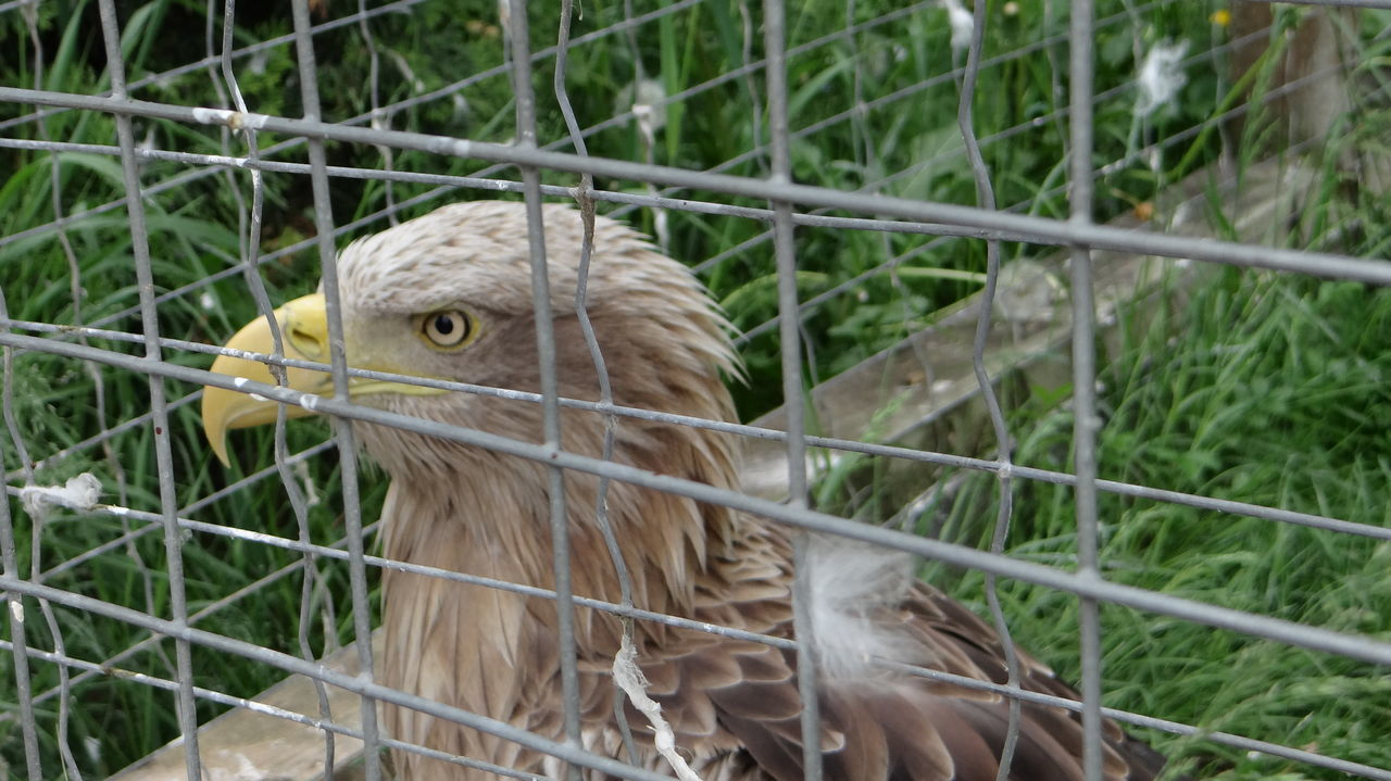 animal themes, bird, one animal, cage, no people, close-up, focus on foreground, day, outdoors, animal wildlife, animals in the wild, beak, trapped, domestic animals, nature, bird of prey, mammal