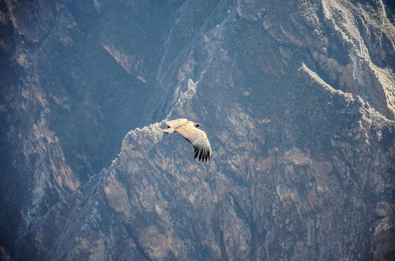 High angle view of condor flying over rock